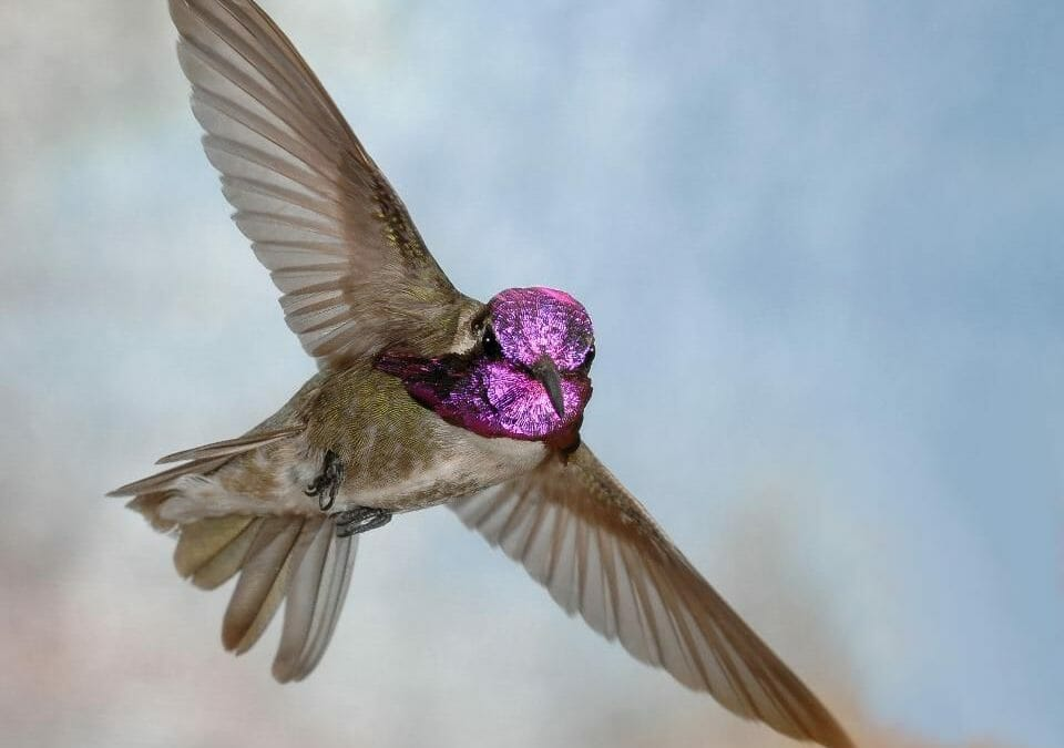 These Hummingbirds Use Good Lighting To Dazzle Potential Mates